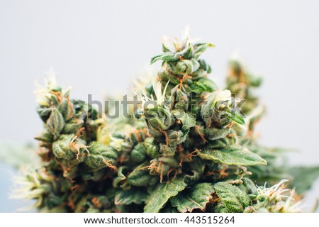 marijuana, plant flowers, close up, the cannabis plant
