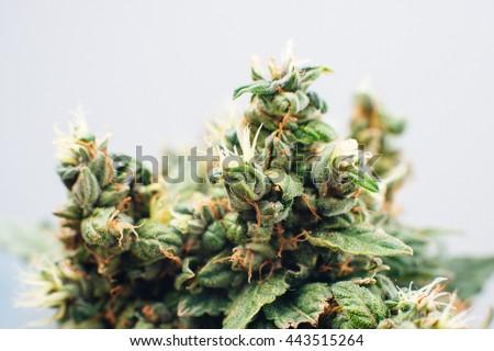 marijuana, plant flowers, close up, the cannabis plant - stock photo