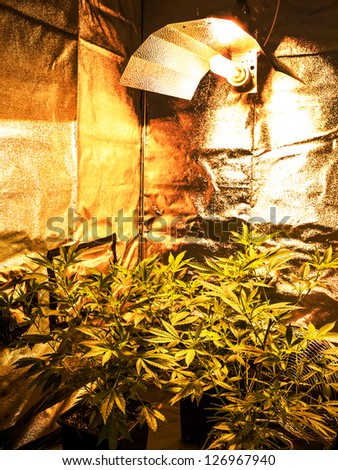 Marijuana Plant, Hannabis Background - stock photo