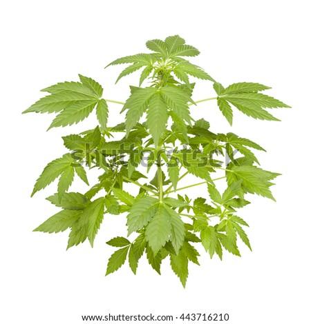 Marijuana plant isolated on white. Small plant. - stock photo
