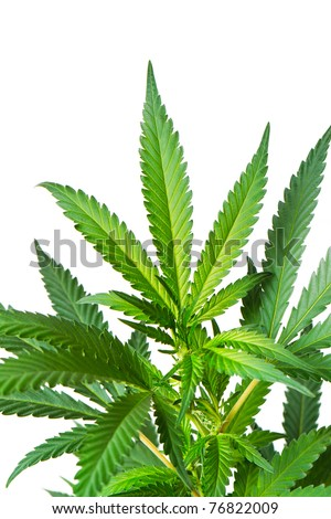 Marijuana Plant, Macro view of buds and leaves on white background - stock photo