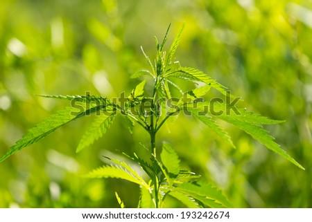 marijuana plant on the green background - stock photo
