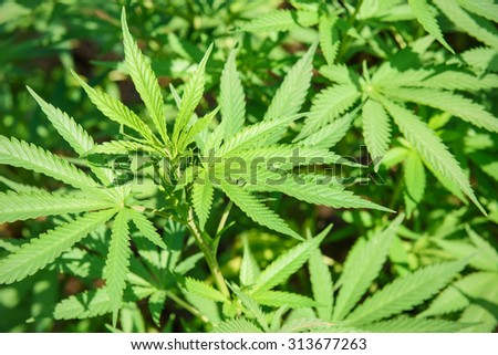 Marijuana plant with healthy green leaves - green background