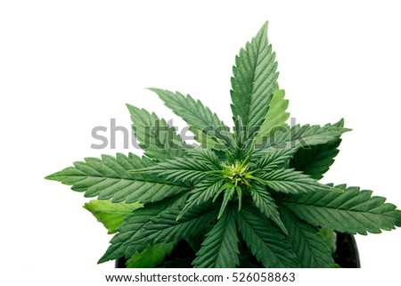 Marijuana plants on a white background, Indica, Kush, Afghani strain