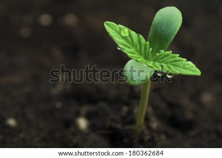 marijuana seeding - stock photo