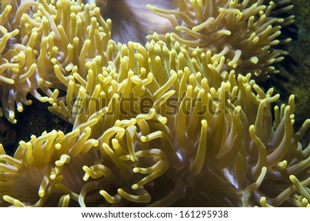 Marina animal Actinia (sea Anemone), recorded in aquarium.