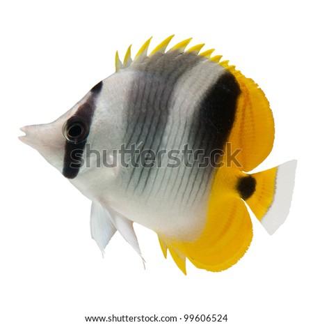 marine fish, butterflyfish reef fish on white background - stock photo