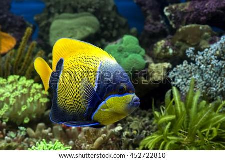 marine fish in aquarium .... Angel fish stock photo - stock photo