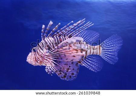 Marine fish lionfish - stock photo
