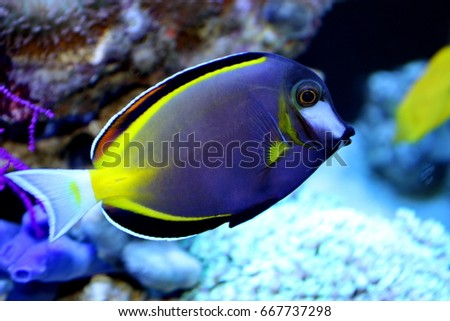 marine fish live in coral reef under the sea, popular to used as a pet in an aquarium or home fish tank.Japan surgeonfish, Acanthurus japonicus, Acanthuridae.