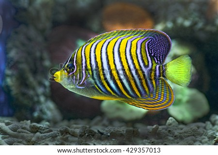 marine fish with coral as the background