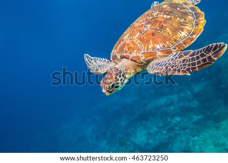 Marine green turtle, Chelonia mydas, swimming in blue water at the Similan Islands in Thailand, Andaman Sea.