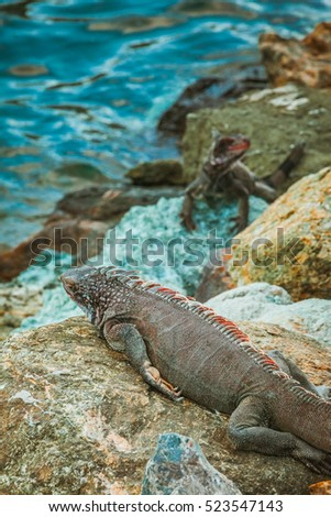 Marine iguana along the shoreline of Bahamas