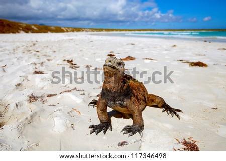 Marine iguana, Galapagos Islands, Ecuador - stock photo
