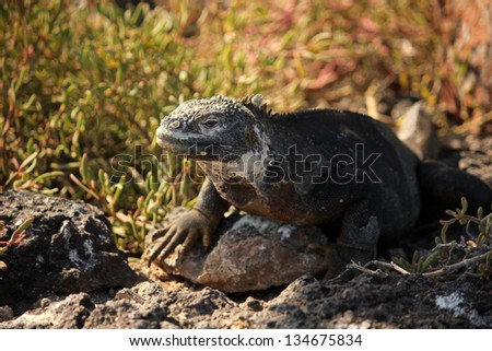 marine iguana on rock