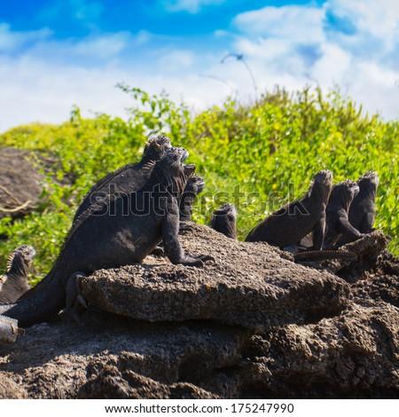 Marine iguanas basking in the sun of the Galapagos islands - stock photo