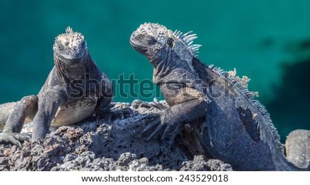 marine Iguanas Galapagos Isalnds National Park - Ecuador South America - stock photo