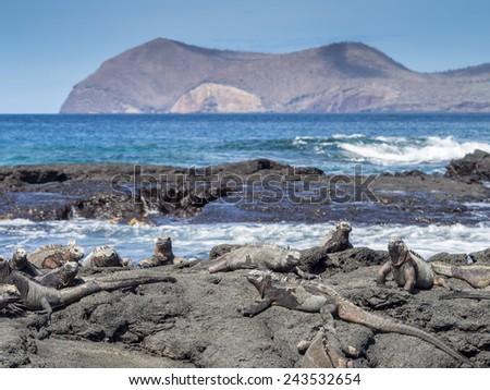 Marine Iguanas Galapagos Islands National Park - Ecuador South America - stock photo