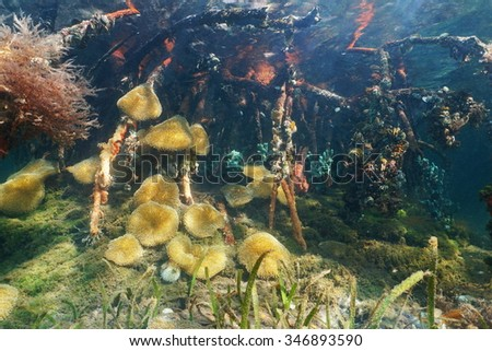 Marine life underwater, sea anemones in the mangrove roots, Caribbean sea, Panama, Central America - stock photo