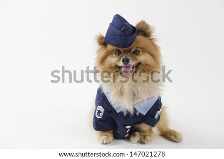 Marine Pomeranian - stock photo
