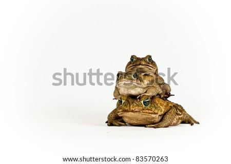 Marine Toad - stock photo
