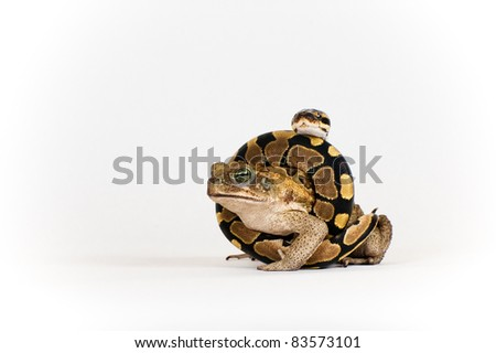 Marine Toad and Python Hatchling - stock photo
