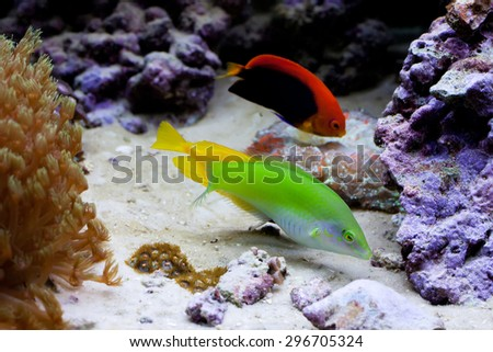 Marine tropical aquarium with colorful fishes. Yellow, green fish. Chaetodon. soft focus - stock photo
