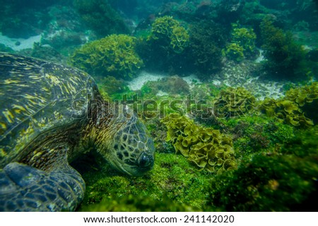 marine turtle swimming underwater in galapagos islands ecuador - stock photo