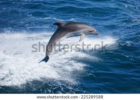 Marine wildlife background - bottlenose dolphin jumping over sea waves - stock photo