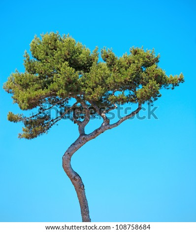 Maritime Pine curved tree, Pinus Pinaster mediterranean plant, isolated on blue sky background. Juan les Pins, Provence, France. - stock photo
