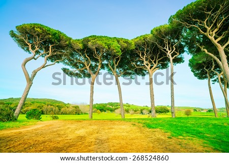 Maritime Pine tree group. Baratti, Maremma, Piombino, Tuscany, Italy. - stock photo