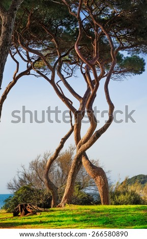 Maritime Pine tree twisted group. Baratti, Maremma, Piombino, Tuscany, Italy. - stock photo