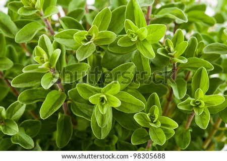 Marjoram background, sprig of marjoram - stock photo