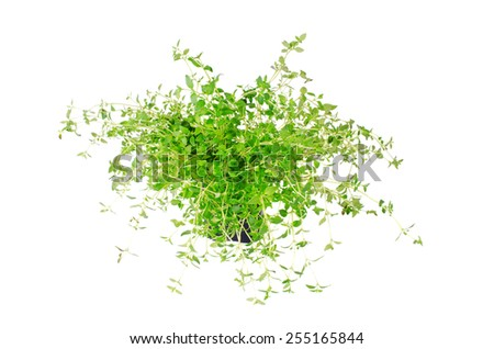 Marjoram isolated on white, studio shot - stock photo