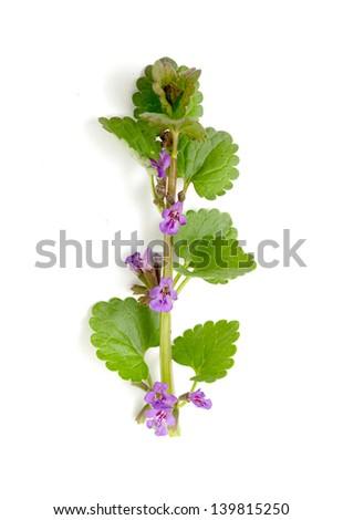 Marjoram Origanum vulgare herb blooming isolated on white - stock photo