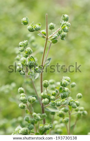 marjoran, top of the Plant, inflorescence close-up  - stock photo