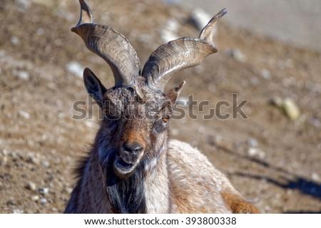 Markhor (Capra falconeri) is a large species of wild goat. - stock photo