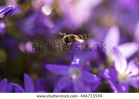 Marmalade hoverfly, Episyrphus balteatus, feeding nectar on a purple flower bellflower Campanula. Marmalade hoverfly can be found in various habitats and gardens visiting flowers, pollen and nectar.