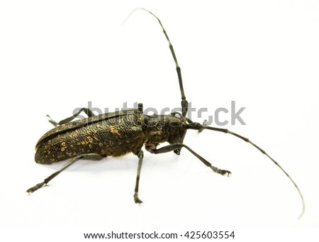 Marmorated Longhorn Beetle (Monochamus sutor) on white background - stock photo