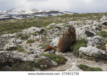 Marmot at Rocky Mountain National Park - stock photo