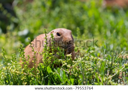 Marmot eats into the field