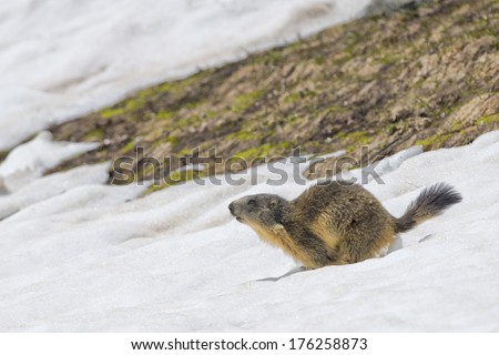 Marmot groundhog while running on the snow background in winter