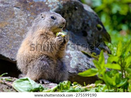marmot in mountain - stock photo