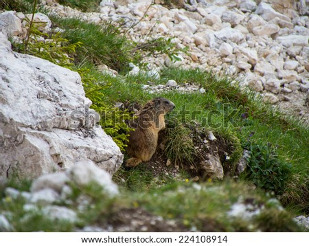 Marmot in the rocks, Dolomites, Italy