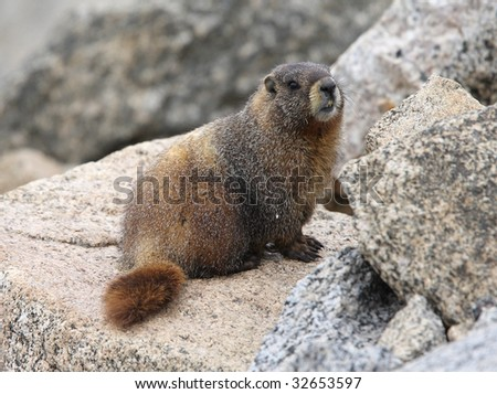 marmot on a rock in the mountains - stock photo