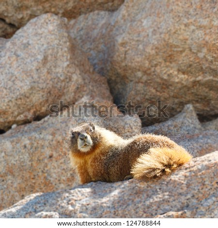 Marmot on Mount Whitney, Sierra Nevada, California, USA. - stock photo