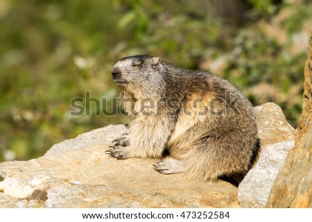 marmot on the rock under sun