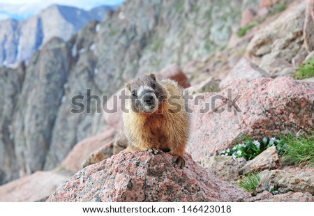 Marmot, Rocky Mountains Colorado - stock photo