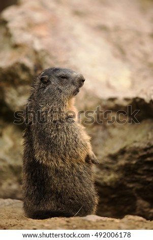 marmot stands in their typical pose