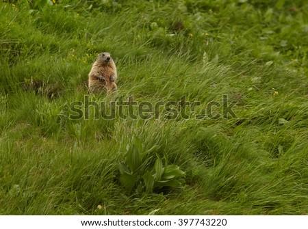Marmota marmota latirostris, subspecies of alpine marmot living only in High tatras mountains, Slovakia in the beginning of summer, on steep grassy hillside near to its burrow.  - stock photo